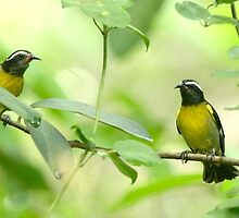 Bananaquit by Heather Pickard