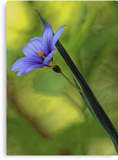 --Blue-Eyed Grass by T.J. Martin