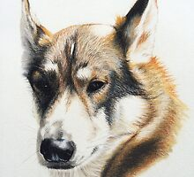 Olly - the beautiful Husky cross by micheleashby