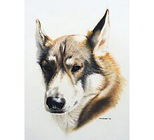 Olly - the beautiful Husky cross Photographic Print