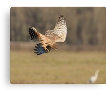 Northern Harrier Dives Canvas Print