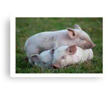 Three White Sleeping Piglets Canvas Print