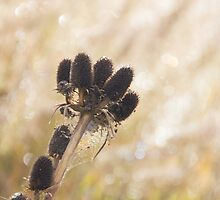 Teasel in Colour by DavidCH