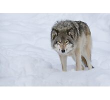 Gray Wolf Photographic Print