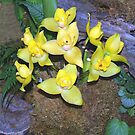 Lycaste Orchid. by vette
