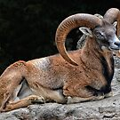 The Mouflon Ram by Jo-PinX