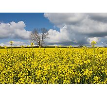 A Field of Oilseed Rape in Summer Photographic Print