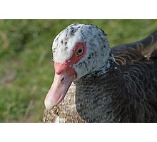 Muscovy Duck Photographic Print