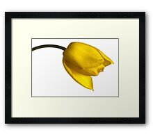 Tulipa 'Yellow Purissima' Framed Print