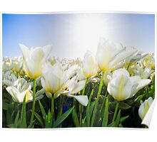 Tulips from Holland Poster