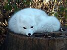 Arctic Fox by Johnny Furlotte