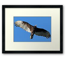 Turkey Vulture in Flight Framed Print