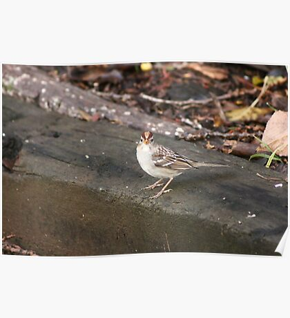 Rufous Crowned Sparrow Poster