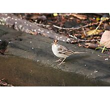 Rufous Crowned Sparrow Photographic Print