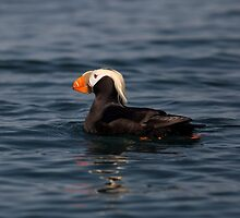 STOCK ~ Tufted Puffin by akaurora