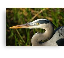 STOCK ~ Great Blue Heron #4 (Head shot) Canvas Print