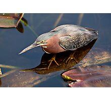 STOCK ~ Green Heron #2 Photographic Print