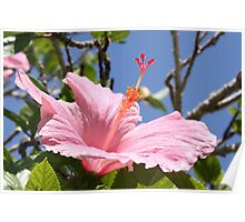Candy Pink Hibiscus Poster