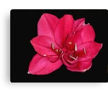 red blossom on black Canvas Print