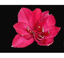 red blossom on black Photographic Print
