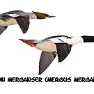 Common Mergansers  Isolated 2014-1 by Thomas Young