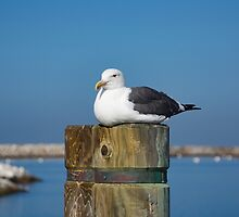 Seagull on the pole. by Anne Scantlebury