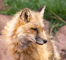 Young fox. by Anne Scantlebury