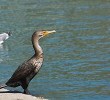 Double crested cormorant. by Anne Scantlebury