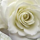 White Rose by Elaine Bawden