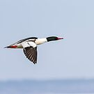 Common Merganser In Flight 2014-1  by Thomas Young