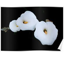 Three Calla Lilies Isolated On A Black Background Poster