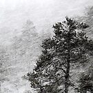 12.1.2016: Pine Tree in Blizzard III by Petri Volanen