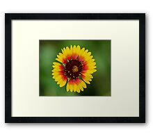 Indian Blanket (Gaillardia pulchella) Framed Print