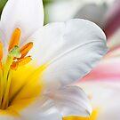 White lily by BlaizerB