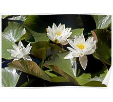 A bed of waterlilies Poster