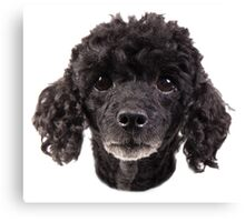 cute little poodle Canvas Print