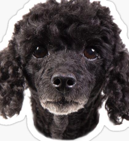 cute little poodle Sticker