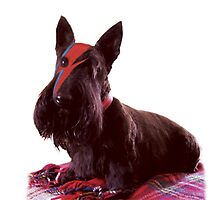Ziggy Scottie dog Photographic Print