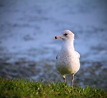 Seagull On The Grass by Cynthia48