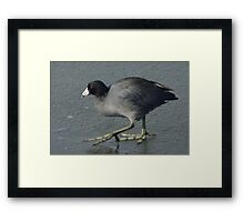 American Coot Bird on ice Framed Print