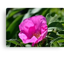 Beach plum rose Canvas Print