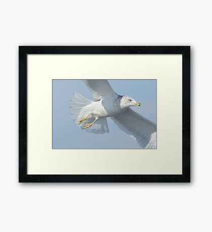 Ring-billed gull flying Framed Print