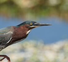 Green Heron Sticker