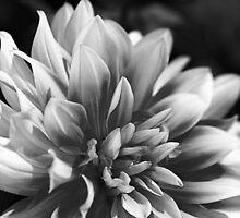 Tones Of Dahlia by Joy Watson