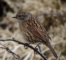 Dunnock by Deb Vincent