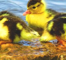 Muscovy Ducklings Sticker