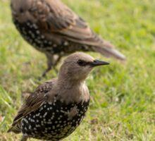 Starlings Sticker