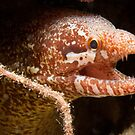 Bartail Moray, Wakatobi National Park, Indonesia by Erik Schlogl