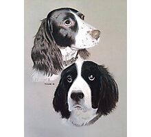 Daisy and Teddi the beautiful English Springer Spaniels  Photographic Print