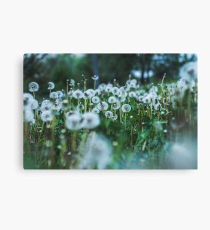 dusky dandelions Canvas Print